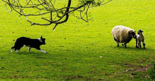 200615 Working dog Prestbury